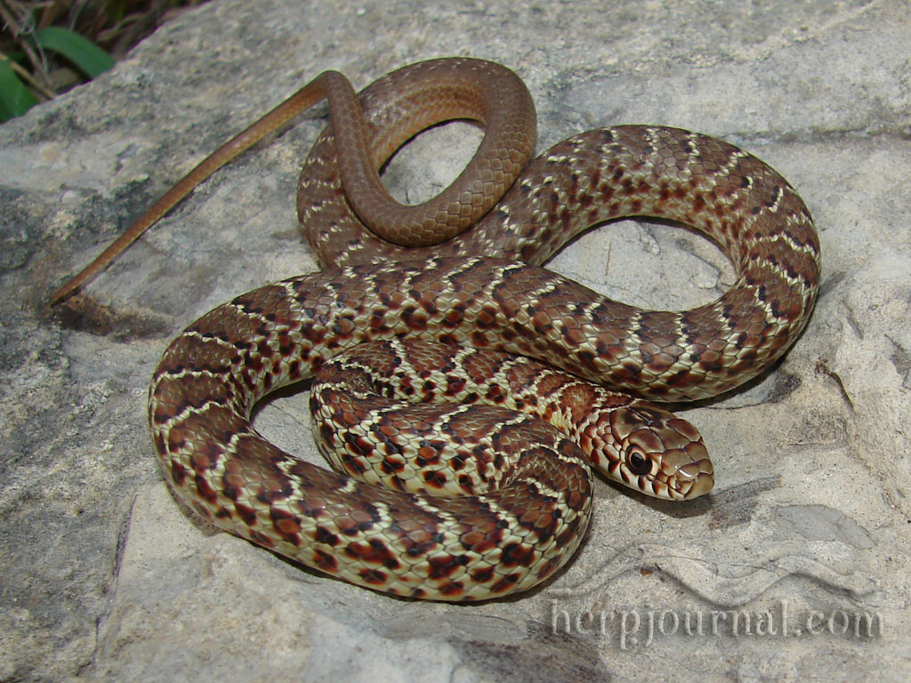 A Fourteen Inch Juvenile Eastern Yellowbelly Racer Coluber Constrictor Flaviventris